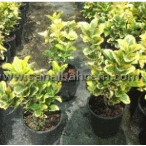 Taflan Alacal� (Euonymus Japonica) | Taflan Gold (Euonymus Japonica 'Gold') 20-40 cm | C014 |